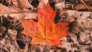 Bright red maple leaf on the ground